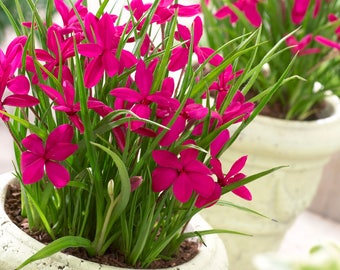 Rhodohypoxis Twinkle Stars - Magenta Star Grass