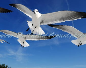 Seagull, Bird, Wildlife, Ocean, Beach, Feather, Flight, Flock, White, Wings, Blue, Digital Download, Florida, Digital Photo, Photography