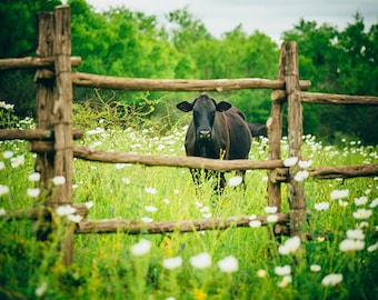 A Curious Cow in the Texas Hill Country - Rural photography and Springtime Wildflowers, Cattle, Livestock, Ranching, Animal
