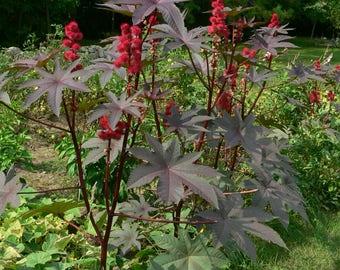 30 Castor Bean Seeds  Ricinus Communis + 10 Garden Lawn Décor Ricino Higuerilla