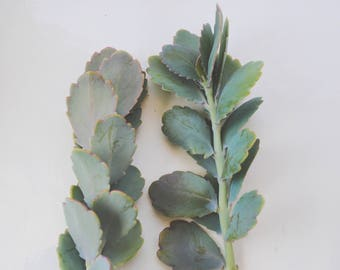 Kalanchoe lavender scallops TWO succulent plant cuttings