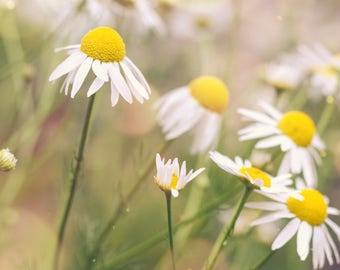 flower photography, white green home decor, daisy photograph, nature art, landscape print, spring decor wild daisies, botanical yellow