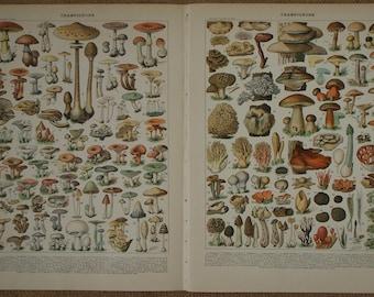 TWO original antique book illustrations 'CHAMPIGNONS' (Mushrooms) by Adolphe Millot Nouveau Larousse Ilustré 1897-1904