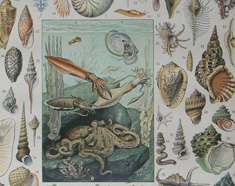 VINTAGE FRENCH Book Illustration 'MOLLUSQUES' (Shellfish) 1897-1904 by Vignerot & Demoulin