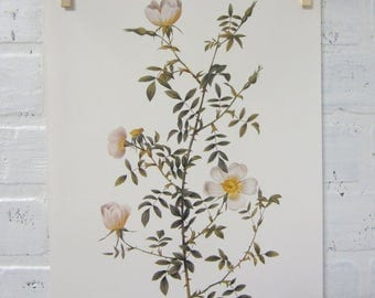 Redoutes Roses Book Page Plate Botanical Wall Art White Rosa Sepium Myrtifolia Rose