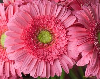 Children's Bedroom Art, Pink Gerber Daisy Photograph