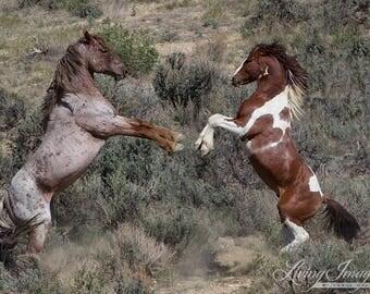 Apache and Dolor Rear Up - Fine Art Wild Horse Photograph - Wild Horse - Apache - Sand Wash Basin