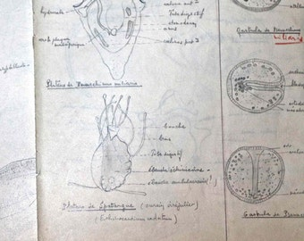 4 old pages of biology lessons - anatomie - plants, insects - 1950