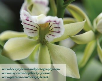 Prosthechea Orchid Fine Art Photo Print