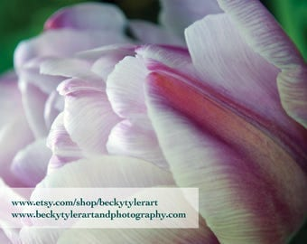 Tulip Fine Art Photo Print