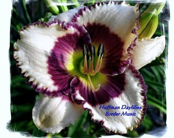 "Daylily : ""Border Music"", double fan, perennial"