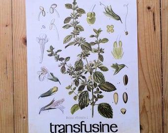 Ancienne Planche botanique, plante médicinale, Mélisse, french botanical print, plant,herbier