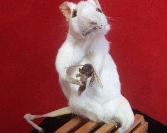 Taxidermy white Mouse with Real Bee Sting! Anthropomorphic-diorama-Display