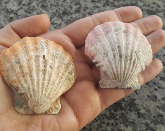 2 big scallop shells for your crafts