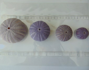 Mini Summer collection, 4pcs multi purple color  sea urchins.