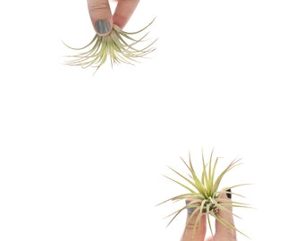 Air Plants, Tillandsia Ionantha Rubra, Tillandsias, concrete vessels | Add On