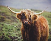 COO photography print, color, Scottish Highland Cow, 8x12