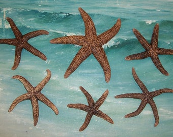 "Lot of 6**Brown Spiny 3-5"" SEA STAR, Starfish from FLORIDA Beach"