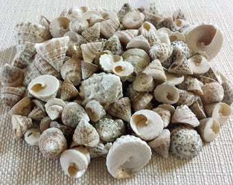 Seashells, Shells, Pyramid Shells, Beach Decor, Bulk Shells, Craft Shells