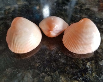 Pink Clam Pair Seashells, Bulk Wholesale Clam Seashells, Clam Shells, Seashells, Craft Seashells, Clam Pair, Seashell Pairs, Seashell