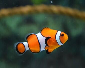 Clownfish. Photographic Wildlife Print/Poster. (003990)