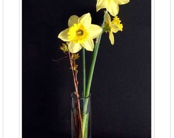 Springtime Daffodils, a 4 Notecard Set. Three 5x7 and one panoramic folded, blank cards, w/envelopes.  Includes 4 FREE Daffodil Bookmarks.