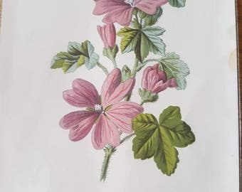 Original 1890 'Familiar Wild Flowers' print. Common Mallow