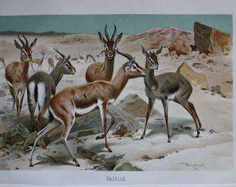 old print gazelle Africa 1895