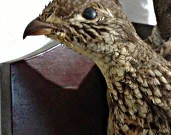 SUMMER SALE Vintage Grouse Taxidermy Mount