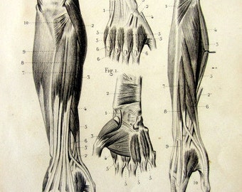 1846 Antique anatomy Myology engraving, rare area muscles posterior forearm and hand print, vintage muscular system tendons  human body.
