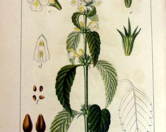 1905 gorgeous antique Galeopsis medicinal herbs print , vintage herbaceous plants color print, flower botanical hempnettle engraving