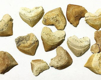 Fossilized Squalicorax Shark Teeth - Crow Shark Tooth, Shark Teeth, Prehistoric Fossil Shark Tooth