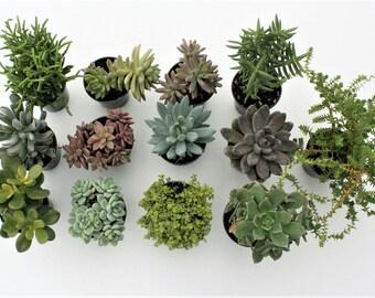 PICK 5 - Medium Succulents