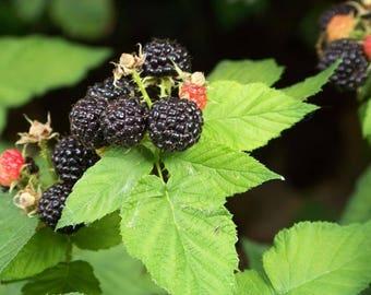 50 BLACK RASPBERRY Rubus Fruit Bush Vine Seeds