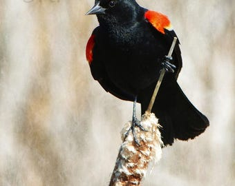 Face of Innocence - PHOTO PRINT - Red-Winged Blackbird