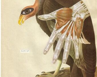 Buzzard Vulture Art, Anatomical Hand Artwork, Human Anatomy Wall Decor, Weird Bird, Curious Oddity Decoration