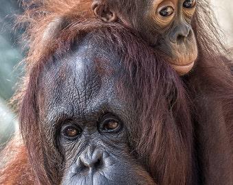 Josie and Gojo, Orangutans