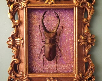 Framed Stag Beetle Insect