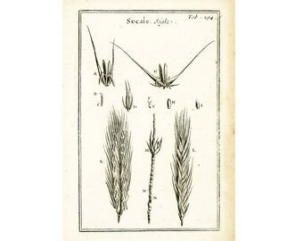 1797 Antique Rye Print Cereal Grain Botanical Agriculture Natural History Wall Home Decor