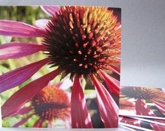 Echinacea purpurea botanical photo Blank greeting card