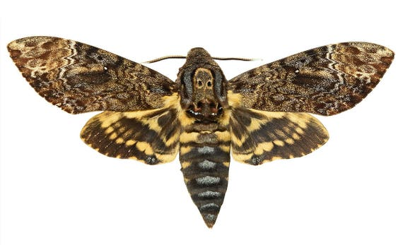Supplies for your artworks - dried insects - :  Lot of 2 hawkmoths acherontia lachesis , deaths head hawkmoth UNMOUNTED A1, FREE SHIPPING