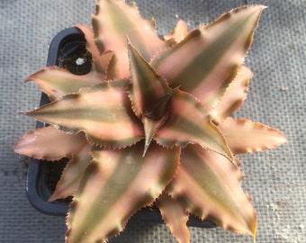 Cryptanthus/Earth Star
