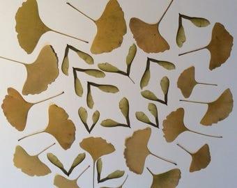 Real pressed Ginko biloba leaves
