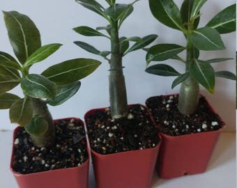 Desert rose plants, Three cute seedlings well rooted Adenium, bonsai,  grown from fresh harvested seed, creates red white pink