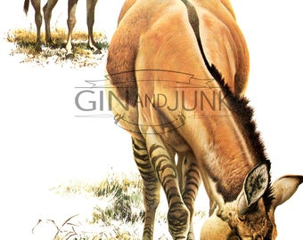 Colourful Vintage Horse, donkey, ass  Print - 1970s Asiatic Wild Ass illustration