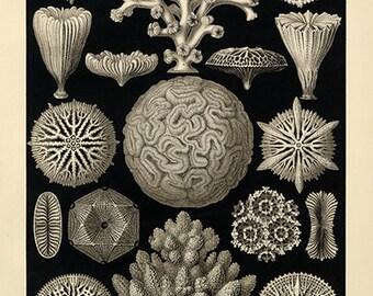 Ernst Haeckel Sea Coral Poster - Vintage Ocean Art Print - Vintage Coral Print - Museum Quality