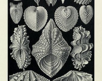 Ernst Haeckel Sea Mussel Poster - Vintage Ocean Art Print - Vintage Mussel Print - Museum Quality