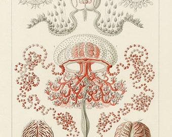 Ernst Haeckel Jellyfish Poster - Vintage Jellyfish Art Print - Vintage Jellyfish Print - Museum Quality