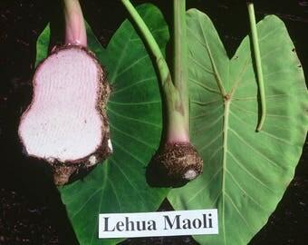 "Leua Maoli"" - Pink Wetland Taro / Colocasia Esculenta - 1 potted plant, Comb Ship"