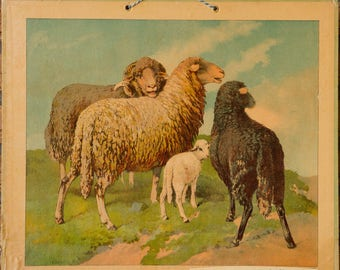 Vintage  Old Print on cardboard  Sheep School Chart Lithograph